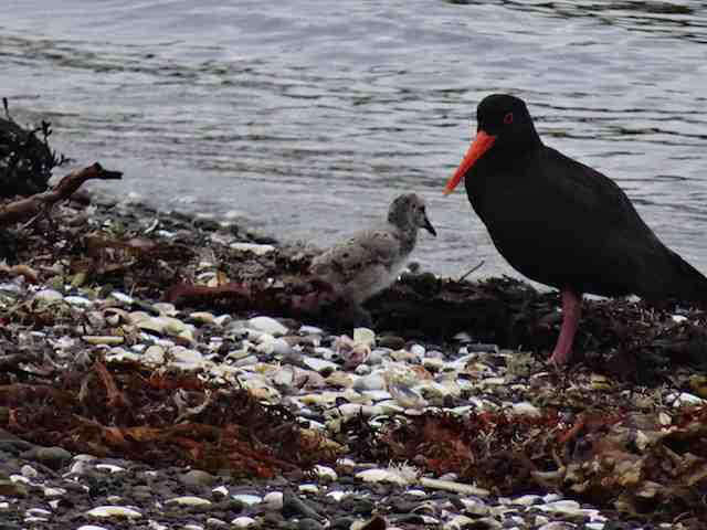 Barrier Island New Zealand - Oystercatcher and her Chick