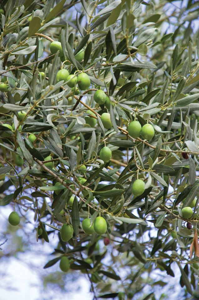 4-olives-ready-for-harvest